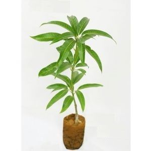 Alphonso - Grafted Live Sapling